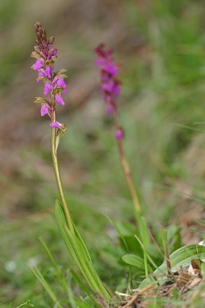 Orchis spitzelli Spitzelli_3045